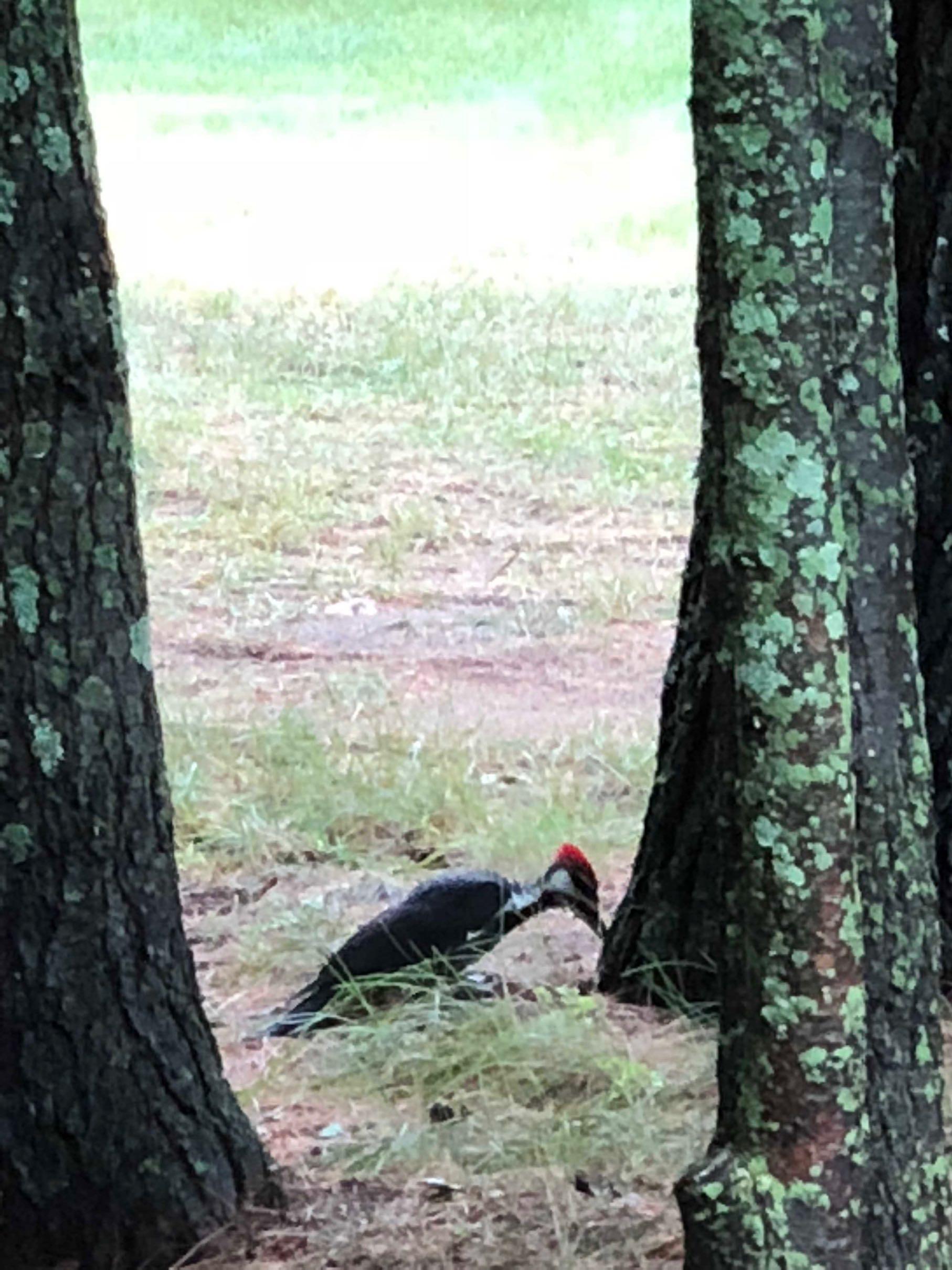 7pileatedwoodpecker