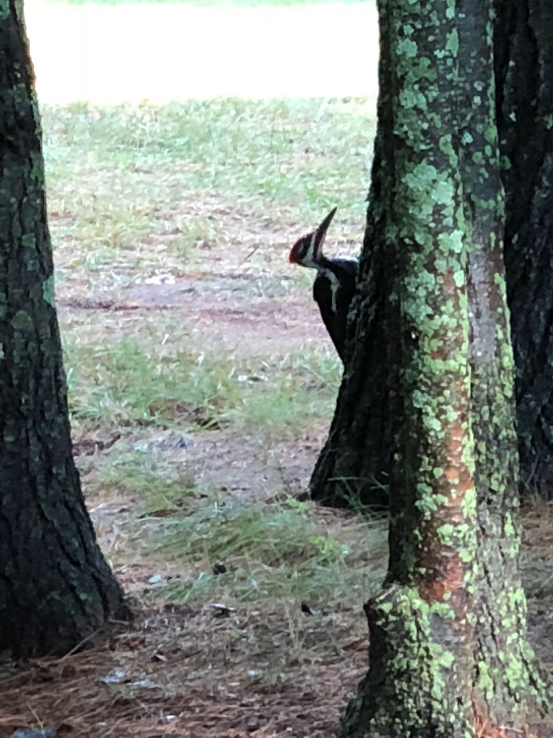 9pileatedwoodpecker