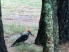 10pileatedwoodpecker