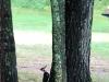 6pileatedwoodpecker