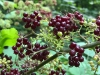 Currant Berries